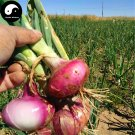 Buy Allium Cepa Seeds 600pcs Plant Spices Vegetables Onions Yang Cong