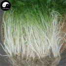Buy White Cilantro Seeds 200pcs Plant Spices Vegetables Parsley Coriandrum Sativum