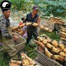 Buy Root Lotus Vegetable Seeds 100pcs Water Plant Nelumbo Nucifera Vegetables Lotus