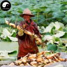 Buy Root Lotus Vegetable Seeds 50pcs Water Plant Nelumbo Nucifera Vegetables Lotus