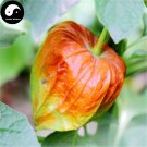 Buy Physalis Pubescens Fruits Seeds 200pcs Plant Chinese Lantern Fruit Cherry