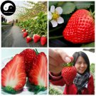 Buy Red Milk Strawberry Fruit Seeds 800pcs Plant Chinese Fruit Strawberries
