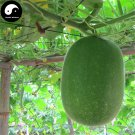Buy Benincasa Hispida Seeds 100pcs Plant Melon Vegetable Green Benincasa Hispida