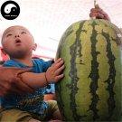 Buy Watermelon Fruit Seeds 50pcs Plant Citrullus Lanatus Big King Watermelon