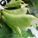 Buy Green Moon Beans Vegetable Seeds 100pcs Plant Lentils Bean Lablab Purpureus