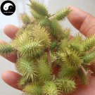 Cang Er Zi 蒼耳子, Fructus Xanthii, Siberian Cocklour Fruit 100g