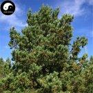 Buy Pinus Sylvestris Tree Seeds 30pcs Plant Chinese Pinus Tree For Zhang Zi Song