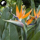Buy Bird Of Paradise Flower Seeds 120pcs Plant Strelitzia Reginae Aiton For He Wang Lan