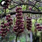 Buy Mucuna Birdwoodiana Tree Seeds 16pcs Plant Mucuna Birdwoodiana For He Que Hua