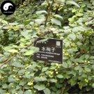 Buy Water Xunzi Tree Seeds 20pcs Plant Cotoneaster Multiflora For Shui Xun Zi