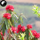Buy Rhododendron Delavayi Seeds 50pcs Plant Rhododendron Delavayi Tree For Ma Ying Hua