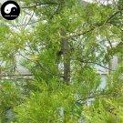 Buy Podocarpus Imbricatus Tree Seeds 60pcs Plant Podocarpus Imbricatus For Ji Mao Song