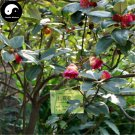 Buy Rhodoleia Championii Tree Seeds 120pcs Plant Rhodoleia Championii For Hong Hua He