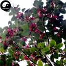 Buy Rhodoleia Championii Tree Seeds 60pcs Plant Rhodoleia Championii For Hong Hua He