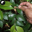 Buy Lindera Communis Tree Seeds 120pcs Plant Lindera Communis For Xiang Ye Shu