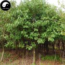 Buy Lindera Communis Tree Seeds 30pcs Plant Lindera Communis For Xiang Ye Shu