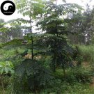 Buy Acrocarpus Tree Seeds 60pcs Plant Acrocarpus Fraxinifolius Wight For Ding Guo Shu