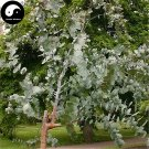 Buy Silver Dollar Tree Seeds 120pcs Plant Eucalyptus Cinerea For Yin Ye An