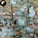 Buy Silver Dollar Tree Seeds 60pcs Plant Eucalyptus Cinerea For Yin Ye An