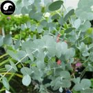 Buy Silver Dollar Tree Seeds 30pcs Plant Eucalyptus Cinerea For Yin Ye An