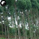 Buy Taiwania Flousiana Gaussen Tree Seeds 30pcs Plant Pinales Taxodiaceae For Tu Shan