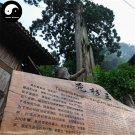 Buy Taiwania Flousiana Gaussen Tree Seeds 120pcs Plant Pinales Taxodiaceae For Tu Shan