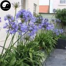 Buy Agapanthus Seeds 120pcs Plant Agapanthus Africanus For Lily Of The Nile