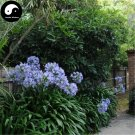 Buy Agapanthus Seeds 60pcs Plant Agapanthus Africanus For Lily Of The Nile