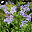 Buy Agapanthus Seeds 30pcs Plant Agapanthus Africanus For Lily Of The Nile