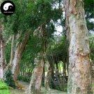 Buy Acacia Confus Seeds 30pcs Plant Acacia Confus For Taiwan Xiang Si Shu