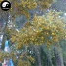 Buy Acacia Confus Seeds 120pcs Plant Acacia Confus For Taiwan Xiang Si Shu