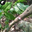 Buy Millettia Dielsiana Tree Seeds 20pcs Plant Suberect Spatholobus Stem For Ji Xue Teng