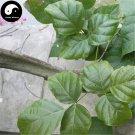 Buy Millettia Dielsiana Tree Seeds 10pcs Plant Suberect Spatholobus Stem For Ji Xue Teng