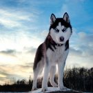 Siberian Husky Art 32x24 Poster Decor