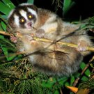 Sunda Slow Loris Art 32x24 Poster Decor