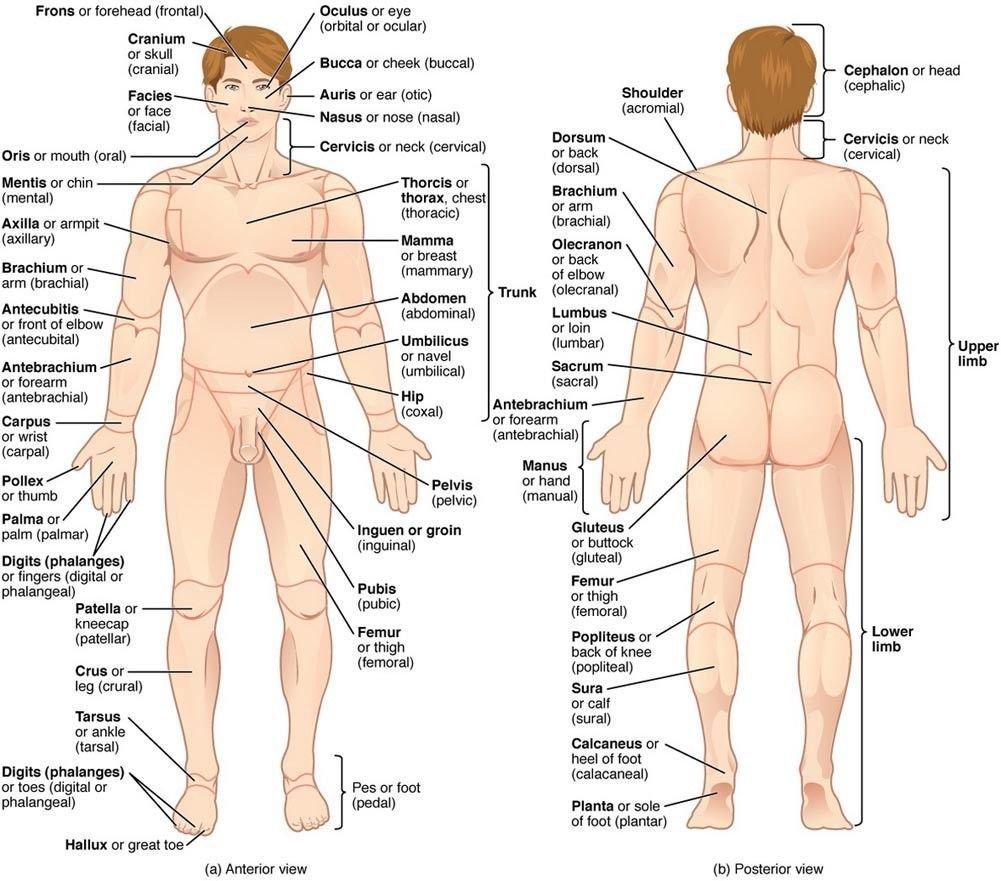 Anatomy Human Body Tutorials Map Art 32x24 Poster Decor