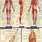 Human Anatomy All System Body Map Art 32x24 Poster Decor