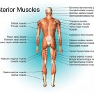 Muscular System Anatomical Art 32x24 Poster Decor