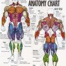 Musculature Anatomy Chart Art 32x24 Poster Decor