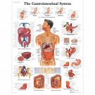 Chart Human Body Anatomy Art 32x24 Poster Decor