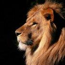Fire Lion Animal Wall Print POSTER Decor 32x24