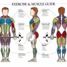 Musculature Anatomy Chart Wall Print POSTER Decor 32x24