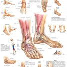 Muscular And Skeletal Anatomy Of Ankle Foot Wall Print POSTER Decor 32x24