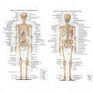 Skeletal System Anatomical Chart Poster Medical Science 32x24