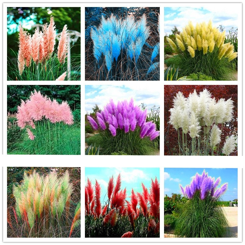 400pcs/bag pampas garss, pampas seeds, pampas grass plant,Ornamental Plant Flowers