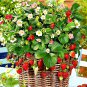 300 Climbing Red Strawberry Seeds very big and delicious ,Heirloom Vegetables and fruit seeds