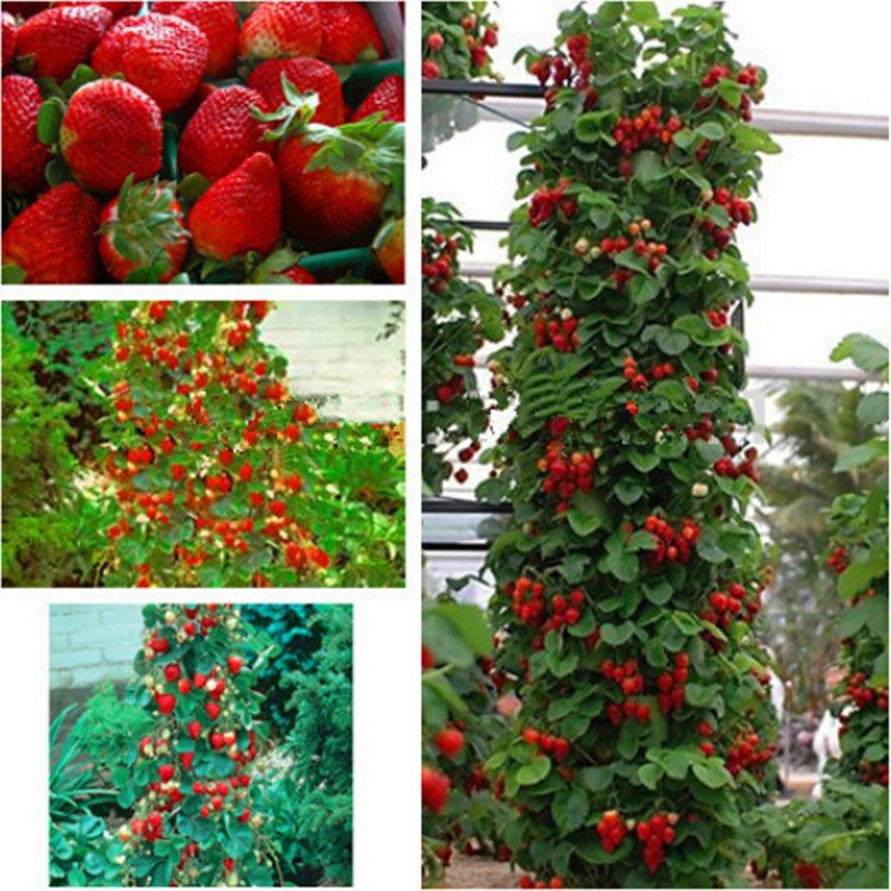 Indoor Plants Strawberry Tree Seeds, Fruit Seeds for Garden Bonsai 100 seeds