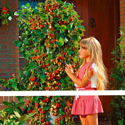 300Pcs Giant Red Climbing Strawberry Seeds, Garden Fruit Plant, Sweet And Delicious