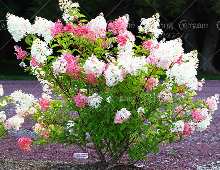 50pcs/bag Vanilla Strawberry Hydrangea Flower Seeds for Planting Flower Bonsai Hydrangea Macrophylla