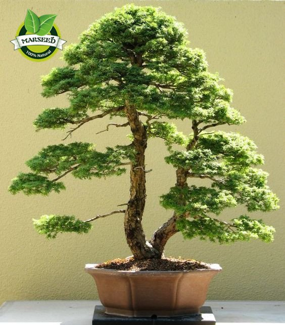 35pcs/Bag Japanese Pine Tree Seeds bonsai flower easy growing DIY home garden bonsia Free Shipping
